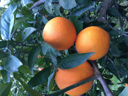 Freshly picked mallorcan oranges directly from our Finca Biniagual